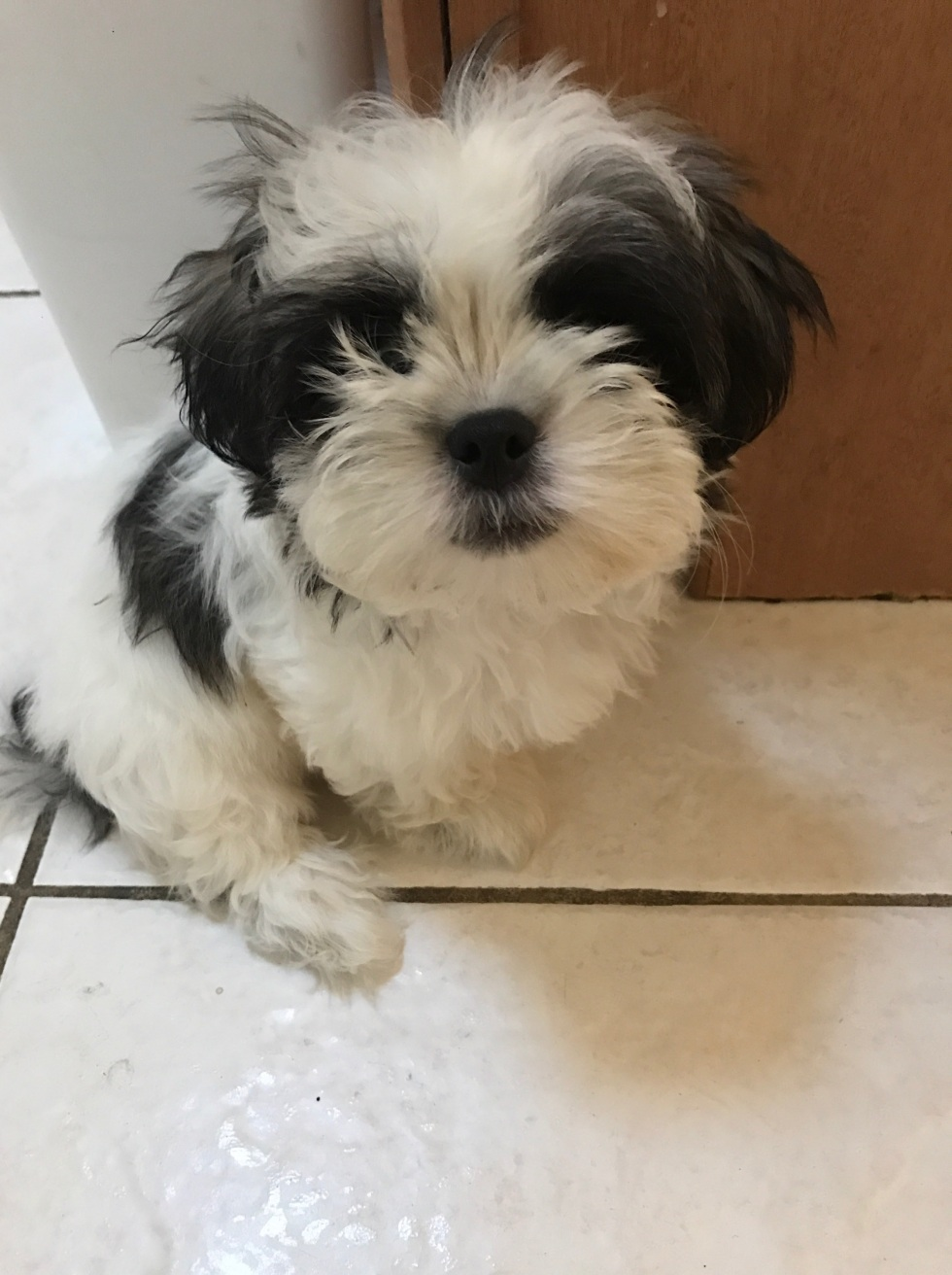 A photo of Damian, a Maltese and Shitzu mix