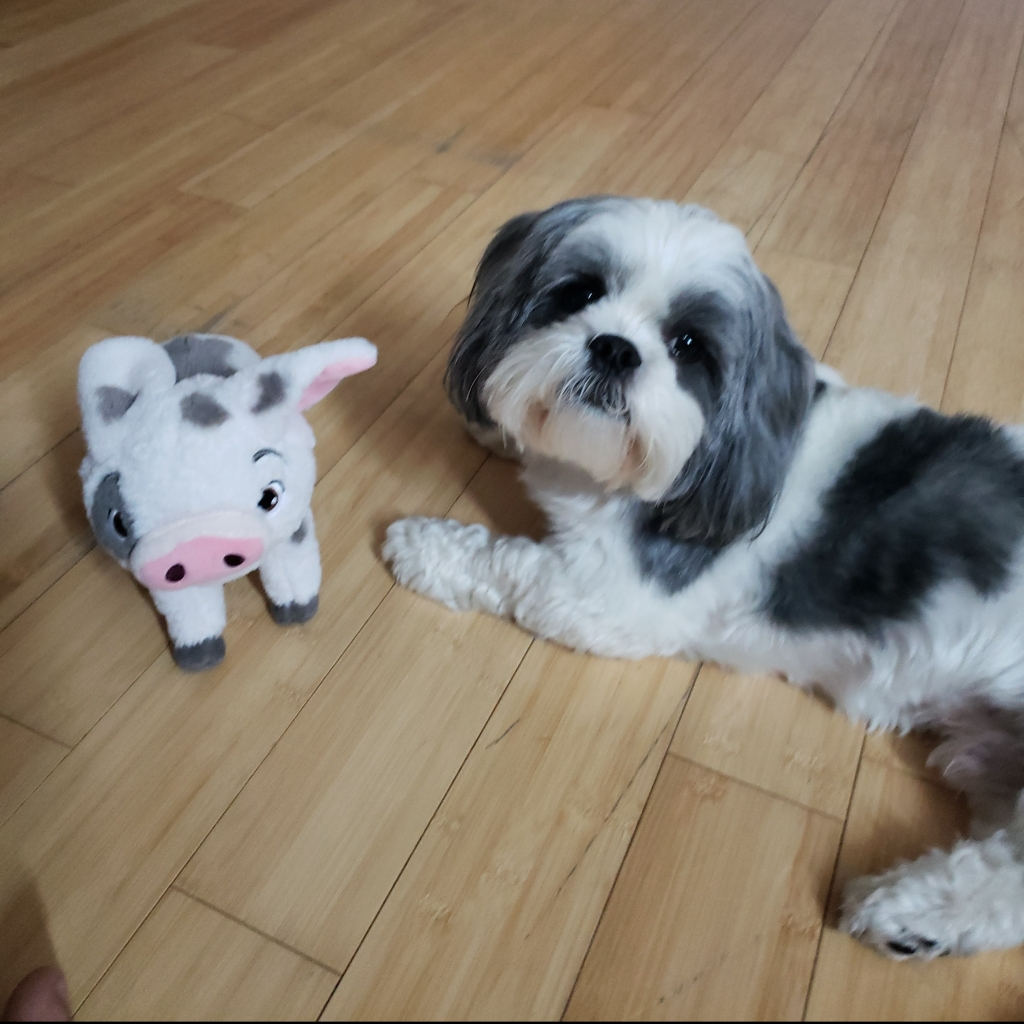 "My dog Damian and his stuffed pig Pua staring at the camera. He's probably thinking, ""Oh, you're home again."""